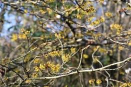 Hamamalis mollis Coombe Wood