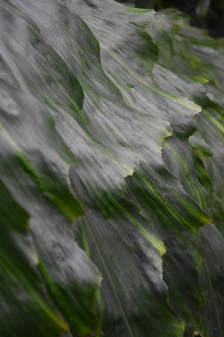 Arenga undulatifolia
