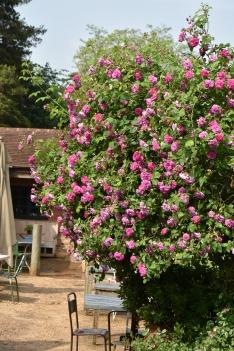 Rosa multiflora Platyphylla