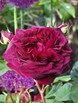 Rosa Munstead Wood (4)